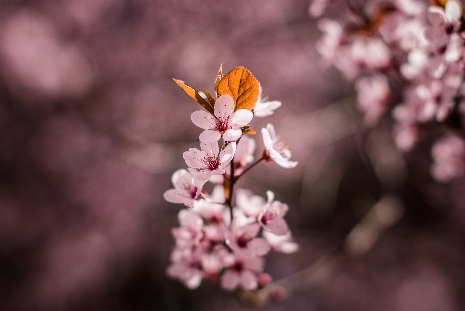 Plum-Blossoms-Home